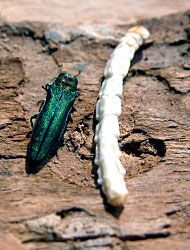 Emeald Ash Borer beetle and larva
